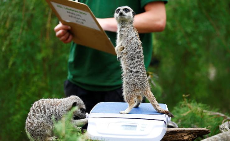Los animales del Zoo de Londres pasan por la báscula