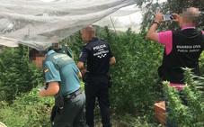 Detienen a una persona con más de una veintena de plantas de marihuana en Moratalla