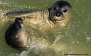El regreso de la foca monje