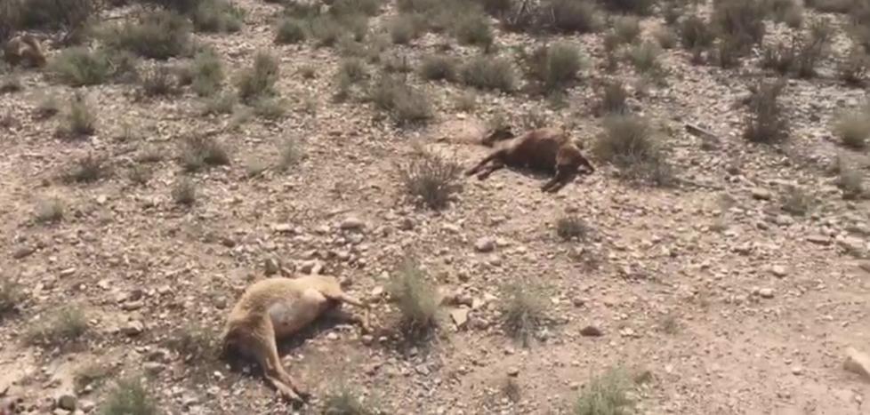 Investigan la aparición de unas veinte ovejas muertas en Los Carrillos