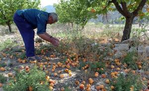 El seguro de los agricultores no contará con cobertura de lluvia en algunas variedades de albaricoque