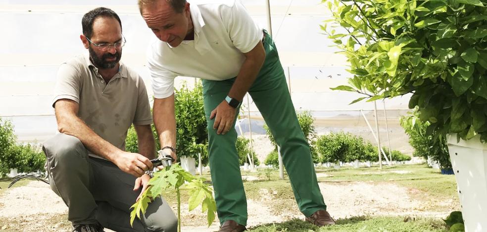 La papaya permite desarrollar un sistema para combatir la plaga de la araña roja