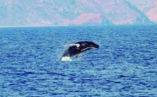 Las ballenas jorobadas se aficionan al Mediterráneo