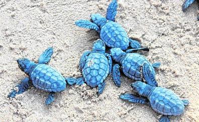 La tortuga boba sigue asentándose