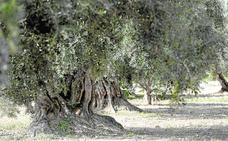 La biotecnología cierra el círculo del aceite de oliva