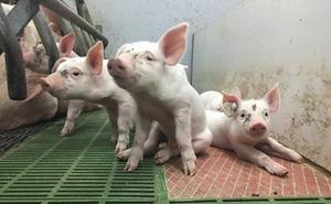 Nacen en la UMU los primeros lechones y terneros con una fecundación 'in vitro' «más natural»