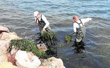 Retiran de las playas 165 metros cúbicos de algas