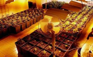Hallan un cultivo 'indoor' con cerca de 300 plantas de marihuana en Abanilla