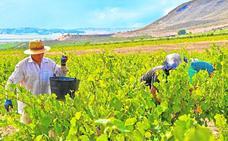 La vendimia concluye en Jumilla y Yecla con una subida de la producción del 20%
