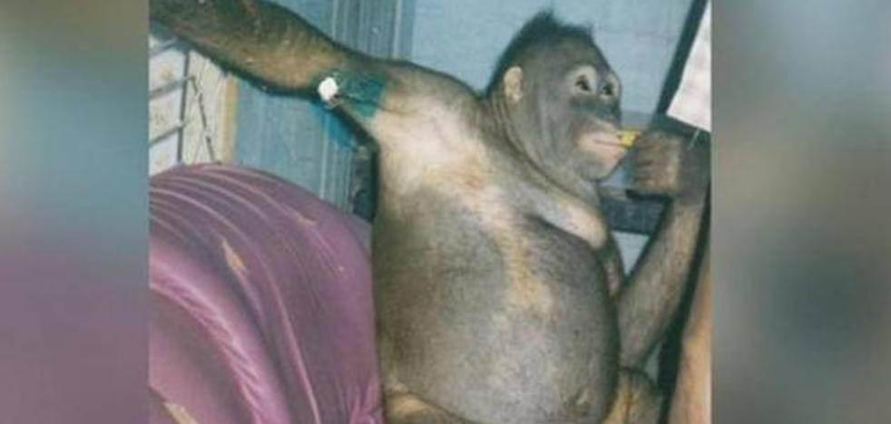 Rescatan a una orangután que llevaba años prostituyéndose con hombres