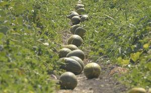 La UPCT logra aumentar hasta un 50% la producción de melón