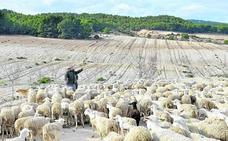 El ovino segureño se tambalea en el Noroeste