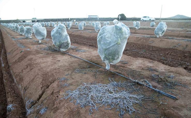 Heladas de hasta -8ºC intensifican los daños al brócoli, lechuga y alcachofa