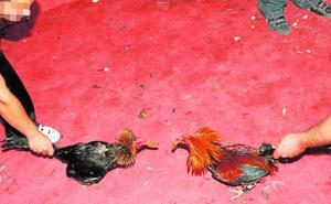 La Policía revienta un gran reñidero de gallos y detiene a decenas de apostantes