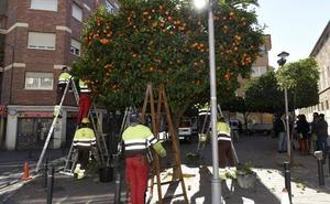 Más de 15.000 ejemplares de naranjos se podarán en Murcia