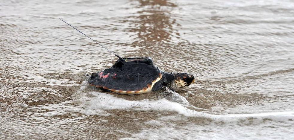 Las tortugas bobas 'murcianas' nadan muy lejos