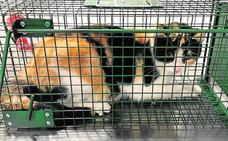 Arranca una campaña para esterilizar a unos 300 gatos silvestres
