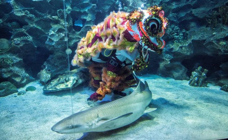 Danza del león... marino