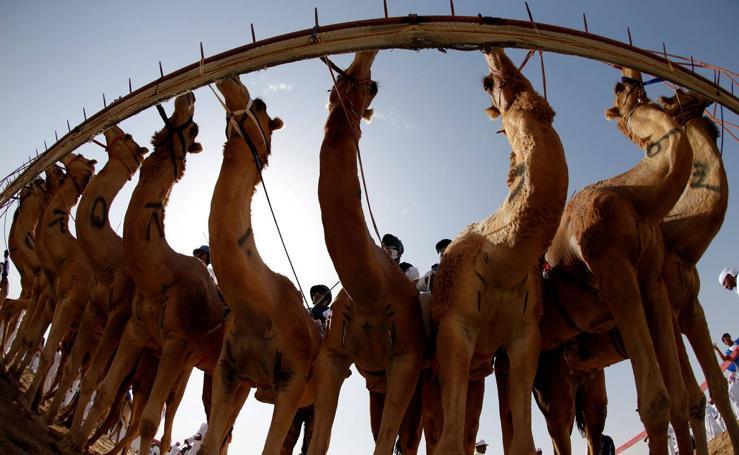 Camellos de carreras