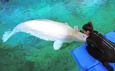 Un estudio pionero del Oceanogràfic evalúa la tolerancia de las belugas al cambio climático