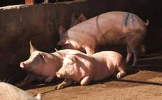 La UMU busca eliminar el uso de antibióticos en la alimentación del ganado porcino