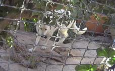 Rescatan a trece perros que convivían con cadáveres de animales de una finca en Javalí Nuevo