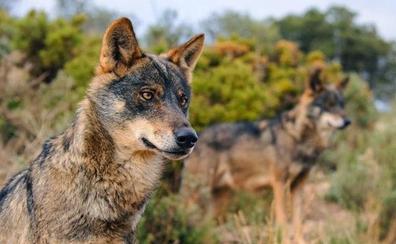 Ponga un lobo en su vida