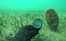 El Mar Menor sorprende con una colonia de 70 nacras