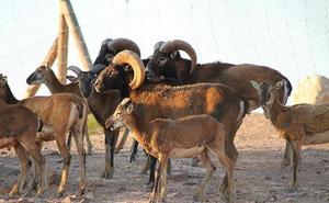 Nacen cinco crías de muflón en Terra Natura Murcia