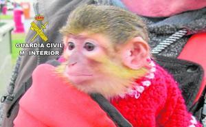 Rescatan a un mono tití al que exhibían y explotaban en el Carnaval de Águilas