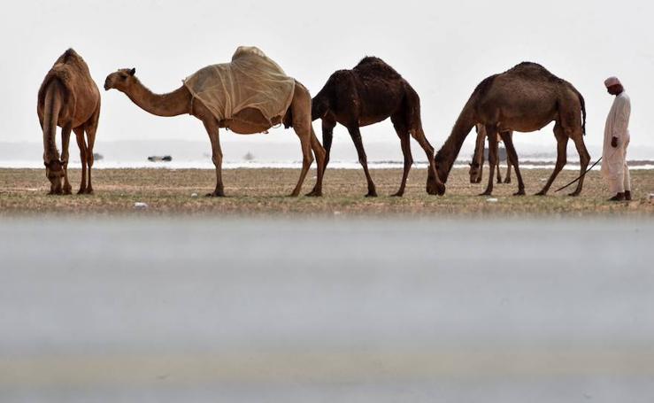 El camello de Riad