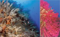 El cambio climático apaga las gorgonias de Cabo de Palos