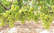 Murcia exportará las primeras uvas de mesa a Vietnam este verano