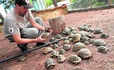El Centro de Recuperación de Fauna recibe 2.565 tortugas moras en cuatro años