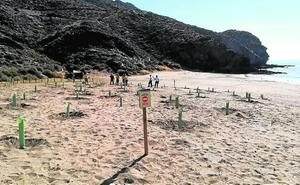 Reponen la vegetación arrancada por una roturación ilegal en Calnegre