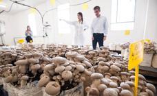La Región inicia el cultivo comercial de setas ecológicas de cardo