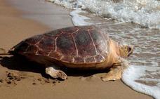 Más de 300 alumnos de San Pedro proponen nombres para la tortuga boba del Museo del Mar