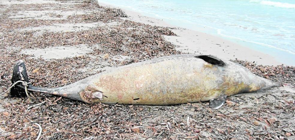 Un estudio de la UMU advierte la presencia de cinco metales pesados en cetáceos