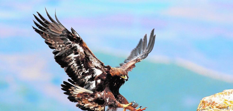 El águila real domina los cielos