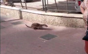 Una nutria sorprende en el centro de Murcia