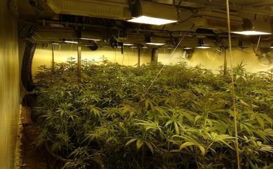 Incautadas 1.720 plantas de marihuana en una nave industrial de El Algar