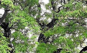 Un hombre amenaza con saltar desde un árbol de la avenida Teniente Flomesta
