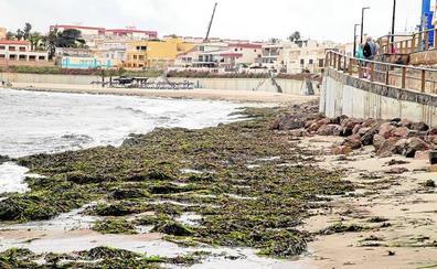 Las algas cubren las playas de Cabo de Palos y La Manga