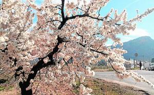 Crean dos rutas en Pliego para disfrutar de la floración del almendro