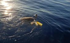 Rescatan en Mazarrón a una tortuga que tenía enganchado al cuerpo un arte de pesca y varias botellas de plástico