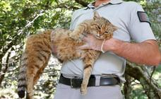 El 'gato zorro' de Córcega