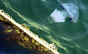 La Comunidad no ha detectado esta temporada medusas jóvenes en el Mar Menor