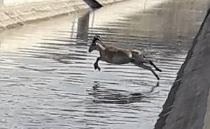 Rescatan dos arruís que habían caído al canal del Trasvase Tajo-Segura, a la altura de Ojós