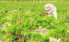 El viñedo pierde terreno y 'emigra' a otras regiones con más productividad