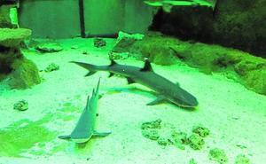 El acuario universitario cede un tiburón de puntas negras al Oceanogràfic de Valencia